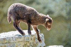 Young sheep getting down the cliff