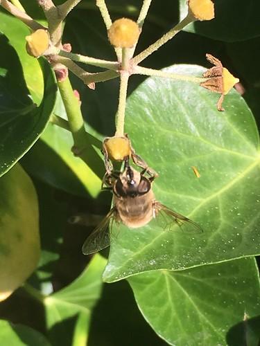 Biene (unbestimmt) (Apidae indet.) (1)