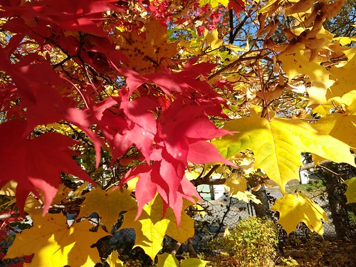 Red Yellow Autumn Maple Leaves