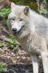 Pretty arctic wolf
