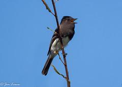 Black Phoebe (Sayornis nigricans semiater)