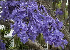 Jacaranda time in Sandgate-1=