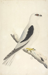 Collection 27: Drawings of birds chiefly from Australia, 1791-1792