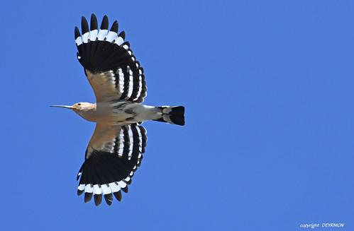 Eurasian Hoopoe  Huppe fasciée