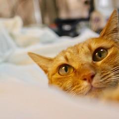 She sometimes uses my bed. #cat #猫 #ネコ #ねこ #茶トラ #orangecat #Tokyo #日本 #東京 #Japan #Katze #chat #gatto #gato #feles #кошка #KAT #gato #고양이 #kočka #kass #муур #pisică