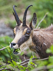 Chamois eating green stuff