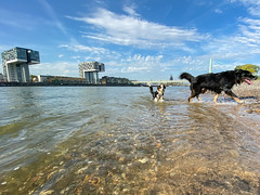 Dogs playing in the Rhine in Cologne, Germany