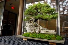 Bonsai 'Penelope.  Preparing to install 'Nick Lentz: Twisted Genius' show at National Bonai and Penjing Museum