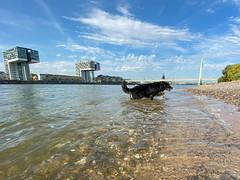 Berner Sennenhund im Rhein in Köln, Deutschland