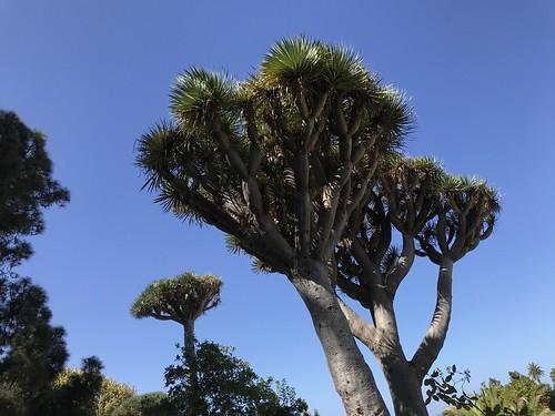 Drachenbaum in Arucas, Gran Canaria