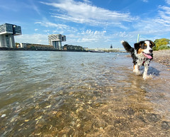 Bernese Mountain Dog swimming in the Rhine in Cologne, Germany
