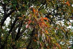 Fall color, Malus hupehensis (Chinese tea crabapple)
