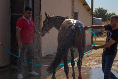 Helping a horse cool off after a race with a cold shower