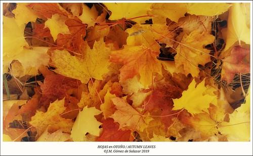 Colorido otoñal de las hojas de un arce / Colorful autumn of the leaves of a Maple