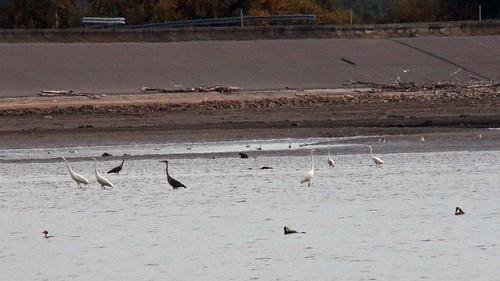 19772.Zugvögel im flachen Wasser