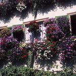 Fleurs de Suisse - 19  (Velvia 50)
