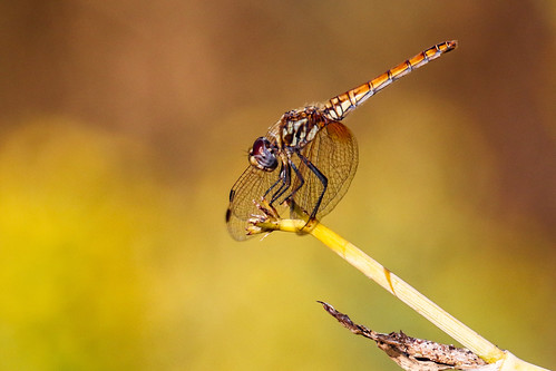 Dragonfly in Benahavis, Southern Spain