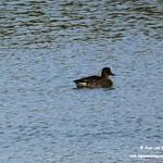 Aves en las lagunas de La Guardia (Toledo) 1-11-2019