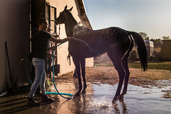 Race horse cooling off during a bath
