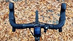 Fallen Pin Oak