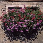 Fleurs de Suisse - 20  (Velvia 50)