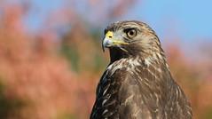 Red-shouldered Hawk (juvenile)- A nice and regular Yard Bird.