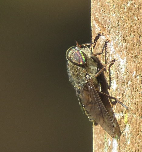 Horse fly male