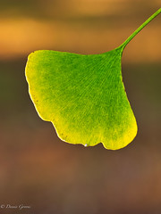 Ginkgo Leaf Transitioning