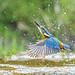 John Tait   Kingfisher