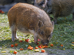 Brown pig eating tomatoes