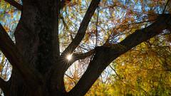 Autumn Sunstar