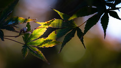Leaves Catching the Sunlight