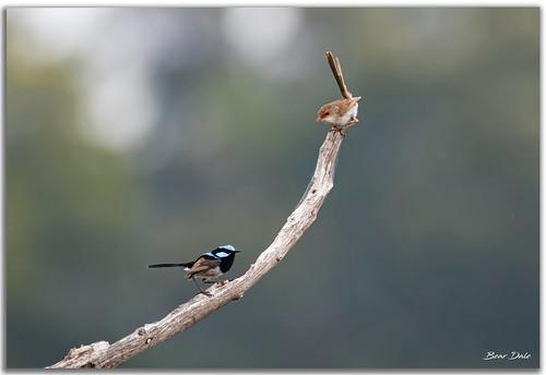 Superb Fairy-wren pair