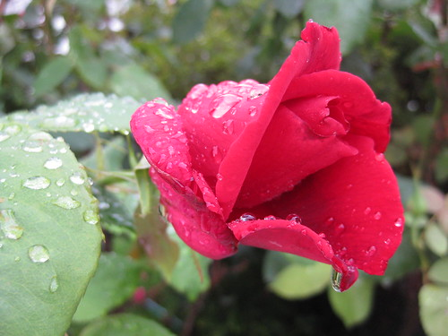 Raindrops on a Papa Meilland Bloom