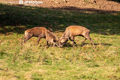 Red Deer Stag's Rutting