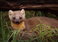 Pine Marten Showing His Face