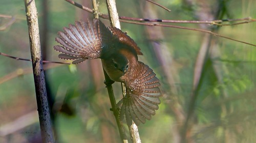 Full feather display Eurasian Wren - Winterkoning - Troglodyte Mignon - Zaunkönig - Troglodytes troglodytes (Troglodytidae)
