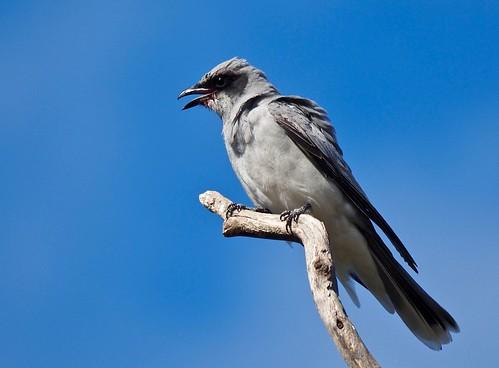 Cuckoo-shrike - Black-faced (Imm.)