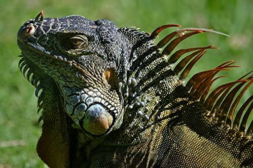 Iguana up close... other worldly beast!