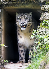 Snow leopard at the door