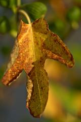 Fig Leave