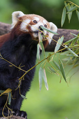 Small panda eating leaves