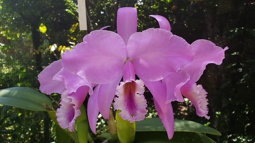 Cattleya warneri T. Moore ex Warner 1862