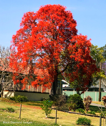 Brachychiton acerifolius - Illawarra Flame Tree Flowering at Glenthorne Beside the Manning River, Taree, NSW
