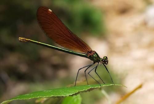 Calopteryx virgo (F)