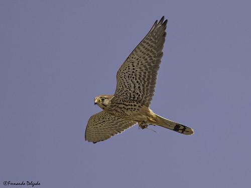 Peneireiro (Falco tinnunculus) | kestrel | Cernícalo vulgar