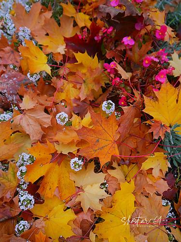 autumn leaves (1)