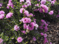 Melaleuca - Mt Trio, Stirling Ranges, Western Australia