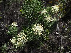 Wildflowers - Mt Trio, Stirling Ranges, Western Australia