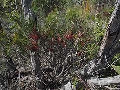 Netbush - Mt Trio, Stirling Ranges, Western Australia